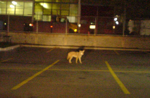 Grainy nighttime photo shows orangey canine figure standing alone in a parking lot