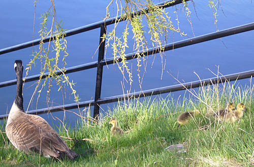 Canada goose and four fluffy goslings on waterside hill alongside an iron railing