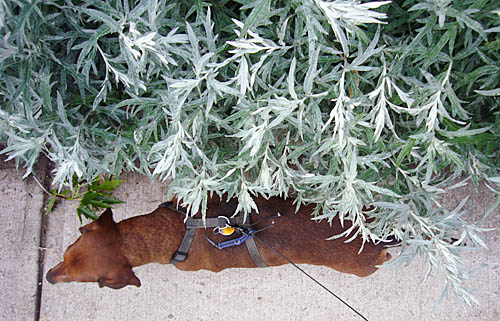Seen from overhead, a brown dachshund is almost obscured by bright-green leaves of a nearby hedge