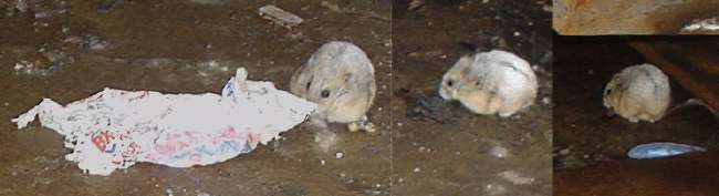 Lovable vermin: Montage of white speckled mouse under dumpster