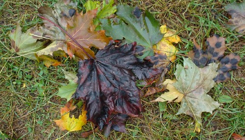 Green-, yellow-, and burgundy-coloured fallen leaves on grass show large black spots