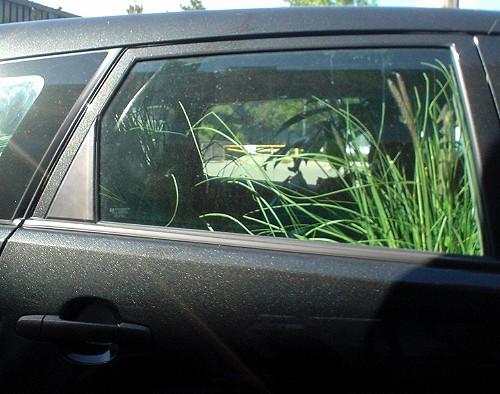 Rear window of slate-grey Toyota Matrix shows long stalks of green grass