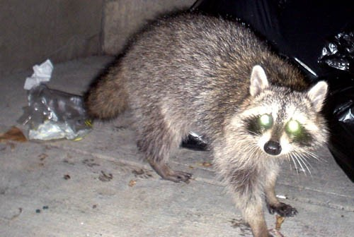 Grey raccoon stands near garbage bags and looks at us with green reflected eyes