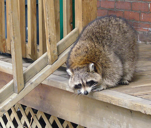 Large grey raccoon, with brown flecking on the back of the neck, crouches on top of wooden stairs