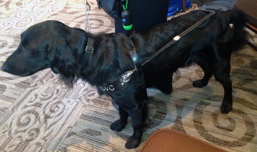 Hound in harness with glossy black coat ending in fine fringe at bottom edges