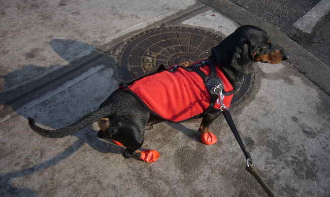 Black-and-tan dachshund in flaming-red coat and booties