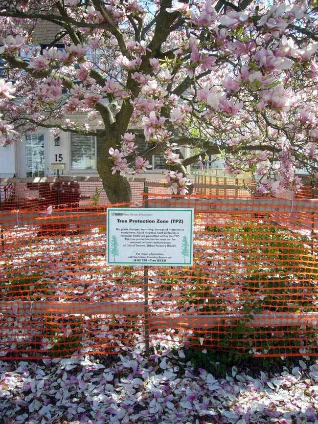 Giant flowering magnolia tree (with petals on the ground) inside fencing labelled Tree Protection Zone