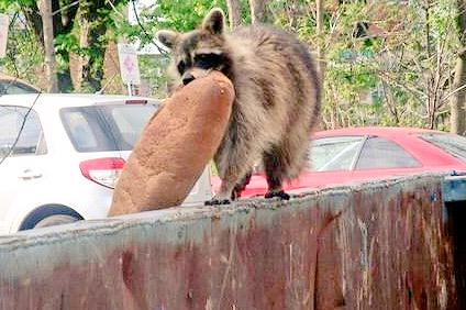 Raccoon making off with a full loaf of bread